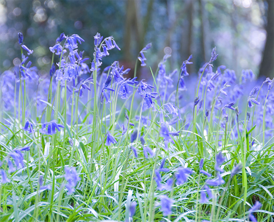 Heath Farm - Bluebells